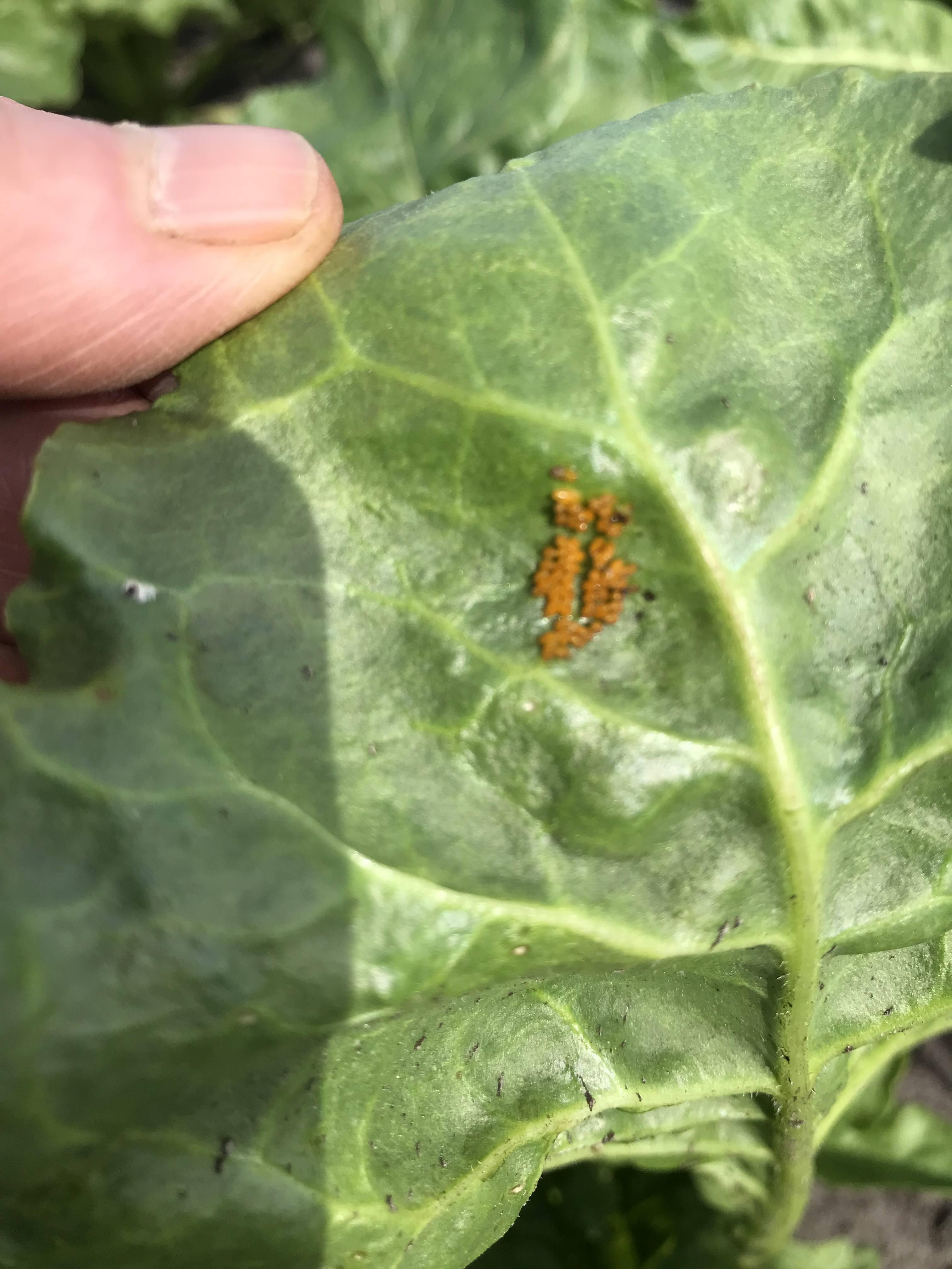 Eitjes lieveheersbeestje onder suikerbietenblad
