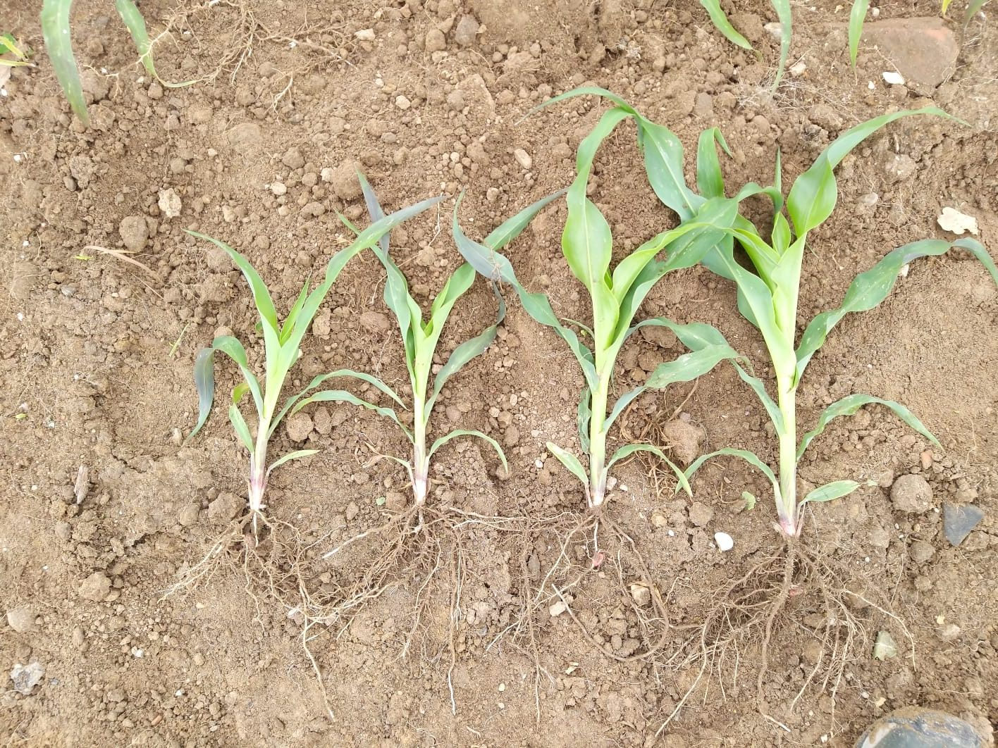 Meststof proef maïs, met en zonder Tercol